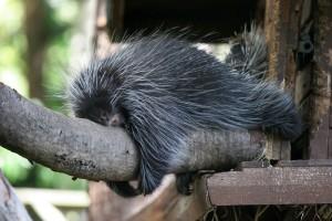 Tree_Porcupine(Lazy)