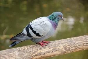 Pigeon(Hole)