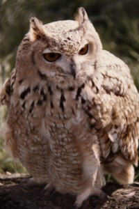 Pharaoh_Eagle_Owl